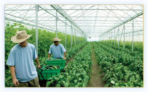 Foreign Workers in Agriculture sector in Plantation